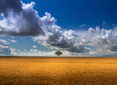 A lonely tree (ainz1607) Tags: tree field orange blue clouds summer corn minimal minamilistic nature natural