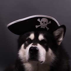 Alaskan Malamute Pirate (Wolfhowl) Tags: malamute alaskanmalamute dog pet portrait animal animals furry fluffy cute kawaii studio food cool seal snow northern sled workdog working kyiv ukraine denzel pirate hat jolly roger