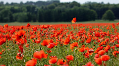 Poppy (Dr. Ernst Strasser) Tags: ifttt 500px denmark field flower poppy red summer ernst strasser unternehmen startups entrepreneurs unternehmertum strategie investment shareholding mergers acquisitions transaktionen fusionen unternehmenskäufe fremdfinanzierte übernahmen outsourcing unternehmenskooperationen unternehmensberater corporate finance strategic management betriebsübergabe betriebsnachfolge