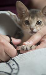 Cutting Claws (peter_hasselbom) Tags: cat cats kitten kittens abyssinian blue 9weeksold cuttingclaws clawscissor towel hands flash 1flash 105mm utata:project=ip286 teatowel