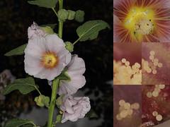 EOS 7D Mark II_087766_C (Gertjan Kamsteeg) Tags: plant flower hollyhock stokroos malvaceae alcearosea althaearosea