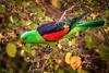 20170518-038a-Undara Walk-Edit_Photobook_6x4-Flickr.jpg (Brian Dean) Tags: clubprint caravan 2017bookpicked nq caravaning slideshow opencategory 2017tour nature facebook portfolio birds undarawalk redwingedparrot