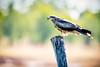 20170523-032- Mutton Hole Wetlands_Photobook-Flickr.jpg (Brian Dean) Tags: nq flickrposted whistlingkite caravaning slideshow 2017tour 2017bookpicked birds facebook raptor muttonholewetlands normanton