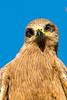 20170524-055-Leichhardt Lagoon_Photobook-Flickr.jpg (Brian Dean) Tags: nq flickrposted 2017bookpicked caravaning slideshow blackkites 2017tour facebook leichhardtlagoon wikicamp birds