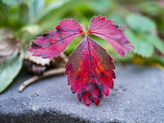 Strawberry leaf (Raoul Pop) Tags: autumn autumncolors color garden home medias nature outdoors time transilvania
