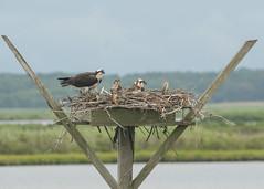 Osprey Family (EHPett) Tags: edwinbforsythe wildliferefuge newjersey raptor nest chicks osprey marsh