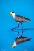20170523-006a - Mutton Hole Wetlands_Photobook-Flickr.jpg (Brian Dean) Tags: nq flickrposted 2017bookpicked caravaning 2017tour maskedlapwing facebook normanton birds muttonholewetlands