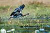 20170523-007a - Mutton Hole Wetlands_Photobook-Flickr.jpg (Brian Dean) Tags: nq flickrposted 2017bookpicked caravaning slideshow 2017tour facebook normanton muttonholewetlands birds