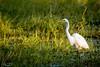 20170524-050-Leichhardt Lagoon_Photobook-Flickr.jpg (Brian Dean) Tags: nq flickrposted intermediateegret 2017bookpicked caravaning slideshow 2017tour facebook birds wikicamp leichhardtlagoon