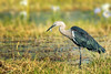 White-necked Heron, Camooweal, QLD (Brian Dean) Tags: nq 2017bookpicked caravaning slideshow camooweal 2017tour flickr photobookpending facebook birds billabong whiteneckedheron