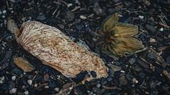 (dyfuzor 1) Tags: rotten flower dark fujixe3 garden