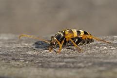 Lepture doré (leptura aurulenta) (pierre.pruvot2) Tags: coléoptère insecte arthropode lepture macro olympus60mmmacro panasonic lumixg9 france pasdecalais maraisdeguînes chemindestêtards