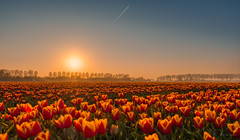 Sunbathing tulips. (Alex-de-Haas) Tags: 1635mm d500 dutch europa europe holland nederland nederlands netherlands nikkor nikkor1635mm nikon nikond500 noordholland agriculture akkerbouw beautiful beauty bloemen bloemenvelden boerenland bollenvelden bulbfields farmland farming flowerfields flowers landbouw landscape landscapephotography landschaft landschap landschapsfotografie lente lucht mooi polder pracht schoonheid skies sky spring sundown sunset tulip tulips tulp tulpen zonsondergang noordscharwoude northholland