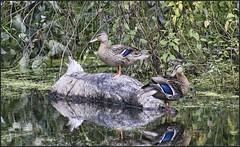 Mallard Hens (robinlamb1) Tags: nature outdoor animal bird duck dabblingduck mallard anasplatyrhychos hen pond log tree trees