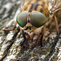 yeux de taon femelle (tabanus automnalis) (pierre.pruvot2) Tags: arthropode insecte diptère tabanidae macro olympus60mmmacro lumixg9 panasonic horsefly france pasdecalais maraisdeguînes chemindestêtards