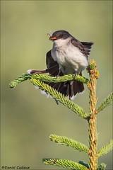 Eastern Kingbird Catch ans Stretch (Daniel Cadieux) Tags: kingbird easternkingbird stretch food hungry hunter predator prey forest ottawa