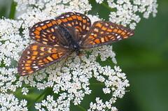 Suur-mosaiikliblikas; Euphydryas maturna (urmas ojango) Tags: lepidoptera liblikalised insecta putukad insects butterfly koerlibliklased nymphalidae suurmosaiikliblikas euphydryasmaturna scarcefritillary