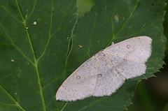 Kase-täpikvaksik; Cyclophora albipunctata; Birch Mocha (urmas ojango) Tags: lepidoptera liblikalised insecta putukad insects moth vaksiklased nationalmothweek geometridae kasetäpikvaksik cyclophoraalbipunctata birchmocha