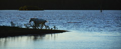 Voltando (Eduardo Amorim) Tags: cavalos caballos horses chevaux cavalli pferde caballo horse cheval cavallo pferd cavalo cavall tropilla tropilha herd tropillas tropilhas 馬 حصان 马 лошадь crioulo criollo crioulos criollos cavalocrioulo cavaloscrioulos caballocriollo caballoscriollos pôrdosol poente entardecer poniente atardecer sunset tramonto sonnenuntergang coucherdesoleil crepúsculo anoitecer pelotas costadoce riograndedosul brésil brasil sudamérica südamerika suramérica américadosul southamerica amériquedusud americameridionale américadelsur americadelsud brazil eduardoamorim barragem açude barrage dam damm aguada diga