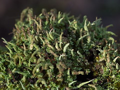 one tree (22) (Boobook48) Tags: moss hornwort liverwort lichen blackwattle acaciamearnsii homerton victoria bryophytes cladonia