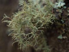 one tree (16) (Boobook48) Tags: moss hornwort liverwort lichen blackwattle acaciamearnsii homerton victoria bryophytes