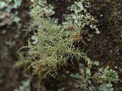one tree (13) (Boobook48) Tags: moss hornwort liverwort lichen blackwattle acaciamearnsii homerton victoria bryophytes