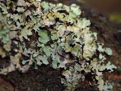 one tree (12) (Boobook48) Tags: moss hornwort liverwort lichen blackwattle acaciamearnsii homerton victoria bryophytes