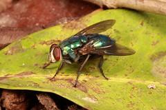 Blow Fly (Calliphoridae) (John Horstman (itchydogimages, SINOBUG)) Tags: insect macro china yunnan itchydogimages sinobug entomology canon fly diptera calliphoridae blue