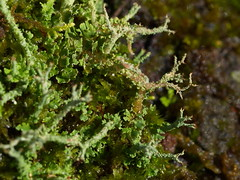 one tree (6) (Boobook48) Tags: moss hornwort liverwort lichen blackwattle acaciamearnsii homerton victoria bryophytes cladonia