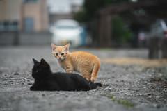 猫 (fumi*23) Tags: ilce7rm3 sony sel85f18 fe85mmf18 85mm a7r3 animal bokeh depthoffield dof kitten kitty cat chat gato neko emount ねこ 猫 ソニー