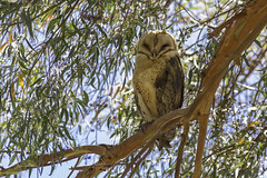 Backlit Barn Owl (Lisa Roeder) Tags: barnowl owls birds wildlife nature natgeo