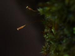 one tree (24) (Boobook48) Tags: moss hornwort liverwort lichen blackwattle acaciamearnsii homerton victoria bryophytes