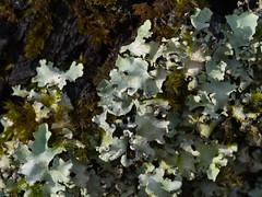 one tree (21) (Boobook48) Tags: moss hornwort liverwort lichen blackwattle acaciamearnsii homerton victoria bryophytes