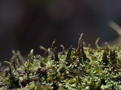 one tree (18) (Boobook48) Tags: moss hornwort liverwort lichen blackwattle acaciamearnsii homerton victoria bryophytes cladonia