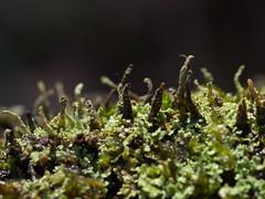 one tree (17) (Boobook48) Tags: moss hornwort liverwort lichen blackwattle acaciamearnsii homerton victoria bryophytes cladonia