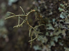 one tree (15) (Boobook48) Tags: moss hornwort liverwort lichen blackwattle acaciamearnsii homerton victoria bryophytes
