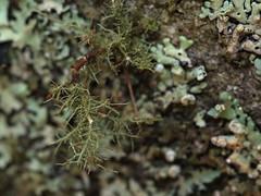 one tree (14) (Boobook48) Tags: moss hornwort liverwort lichen blackwattle acaciamearnsii homerton victoria bryophytes