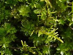 one tree (9) (Boobook48) Tags: moss hornwort liverwort lichen blackwattle acaciamearnsii homerton victoria bryophytes ant