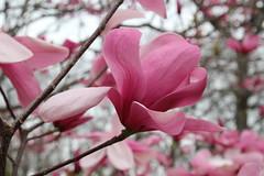 IMG_5086 (avsfan1321) Tags: dc washingtondc washington usa unitedstates unitedstatesofamerica arboretum nationalarboretum cherryblossomfestival tree pink floweringmagnolia magnolia