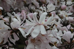 IMG_5080 (avsfan1321) Tags: dc washingtondc washington usa unitedstates unitedstatesofamerica arboretum nationalarboretum cherryblossomfestival tree pink floweringmagnolia magnolia floweringstarmagnolia starmagnolia
