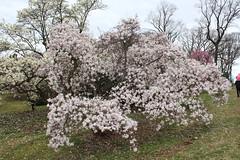 IMG_5077 (avsfan1321) Tags: dc washingtondc washington usa unitedstates unitedstatesofamerica arboretum nationalarboretum cherryblossomfestival tree pink floweringmagnolia magnolia floweringstarmagnolia starmagnolia