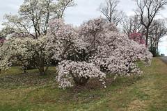 IMG_5072 (avsfan1321) Tags: dc washingtondc washington usa unitedstates unitedstatesofamerica arboretum nationalarboretum cherryblossomfestival tree pink floweringmagnolia magnolia floweringstarmagnolia starmagnolia