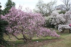IMG_5069 (avsfan1321) Tags: dc washingtondc washington usa unitedstates unitedstatesofamerica arboretum nationalarboretum cherryblossomfestival tree pink floweringmagnolia magnolia floweringstarmagnolia starmagnolia