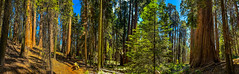 Sequoia grove