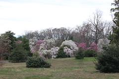 IMG_5062 (avsfan1321) Tags: dc washingtondc washington usa unitedstates unitedstatesofamerica arboretum nationalarboretum cherryblossomfestival tree pink floweringmagnolia magnolia