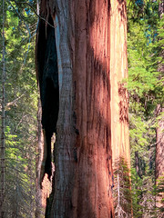 A hole in the sequoia makes no difference to a tree over a thousand years old!