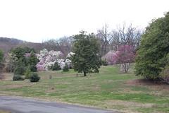 IMG_5060 (avsfan1321) Tags: dc washingtondc washington usa unitedstates unitedstatesofamerica arboretum nationalarboretum cherryblossomfestival tree pink floweringmagnolia magnolia
