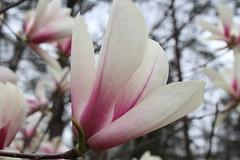 IMG_5057 (avsfan1321) Tags: dc washingtondc washington usa unitedstates unitedstatesofamerica arboretum nationalarboretum cherryblossomfestival tree pink floweringmagnolia magnolia