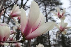 IMG_5056 (avsfan1321) Tags: dc washingtondc washington usa unitedstates unitedstatesofamerica arboretum nationalarboretum cherryblossomfestival tree pink floweringmagnolia magnolia