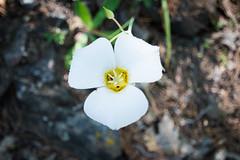 Smokey Mariposa Lily